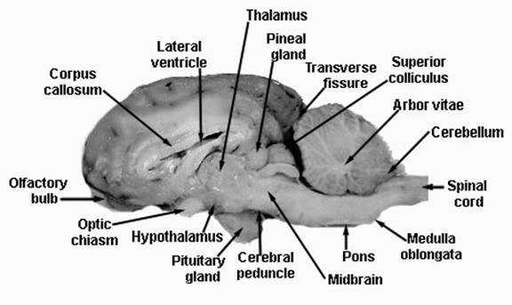 Human Brain Internal Structure