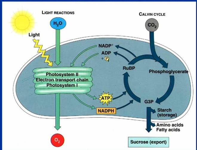 photosythesis cycle Photosynthesis, cellular respiration and the carbon cycle plants convert the carbon in atmospheric carbon dioxide into carbon-containing organic compounds, such as.
