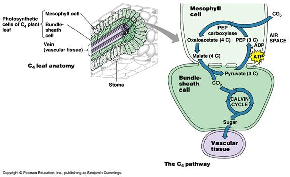 Overview Of C3 Photosynthesis