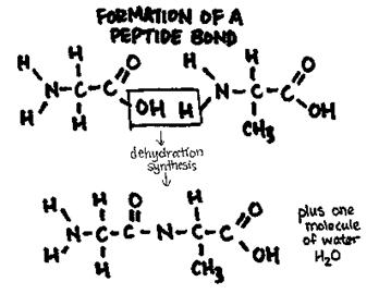 organic molecules diagrams : dehydration synthesis diagram - findchart.co