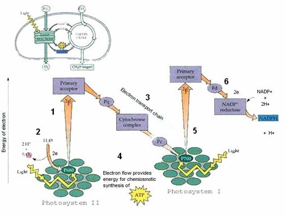 reactions of photosythesis